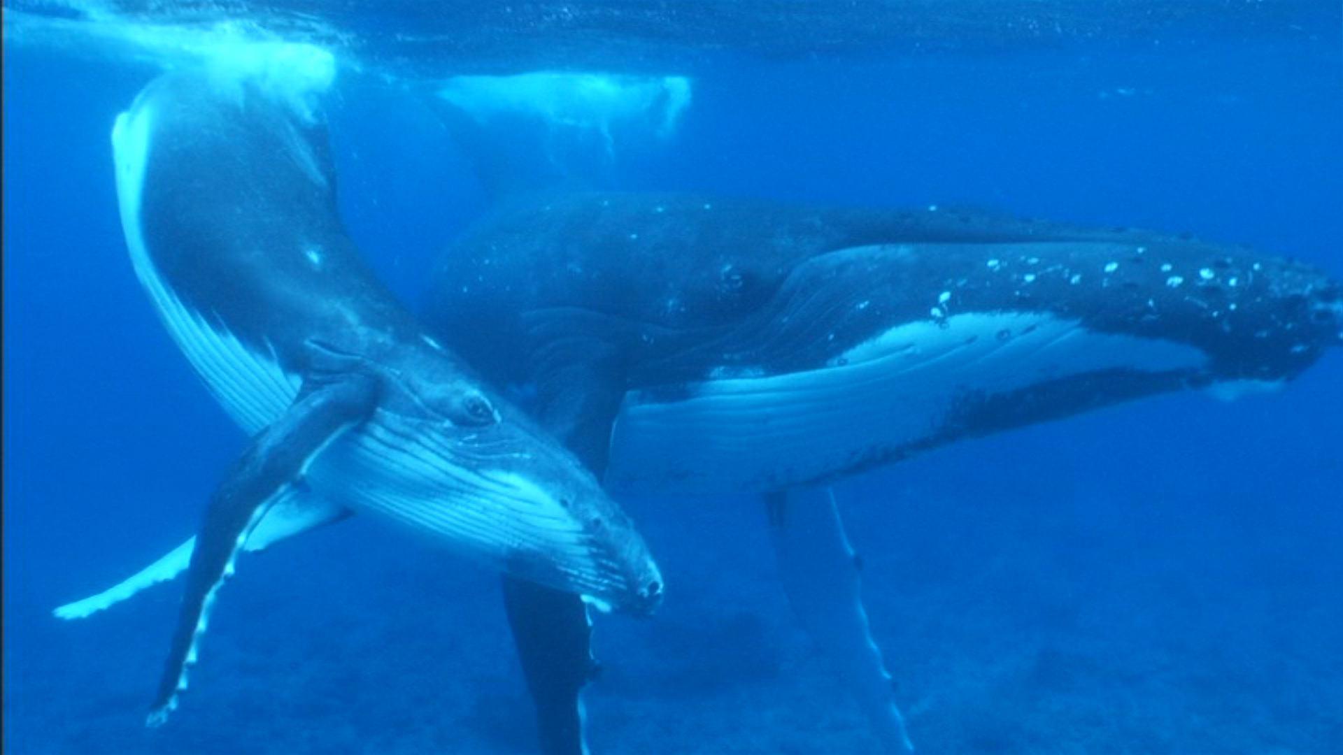 3D紀行Ⅴ タヒチ 親子クジラと泳ぐ旅