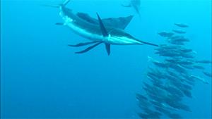 水中最速のプレデター!バショウカジキの海へ~メキシコ ユカタン半島・冒険の旅~