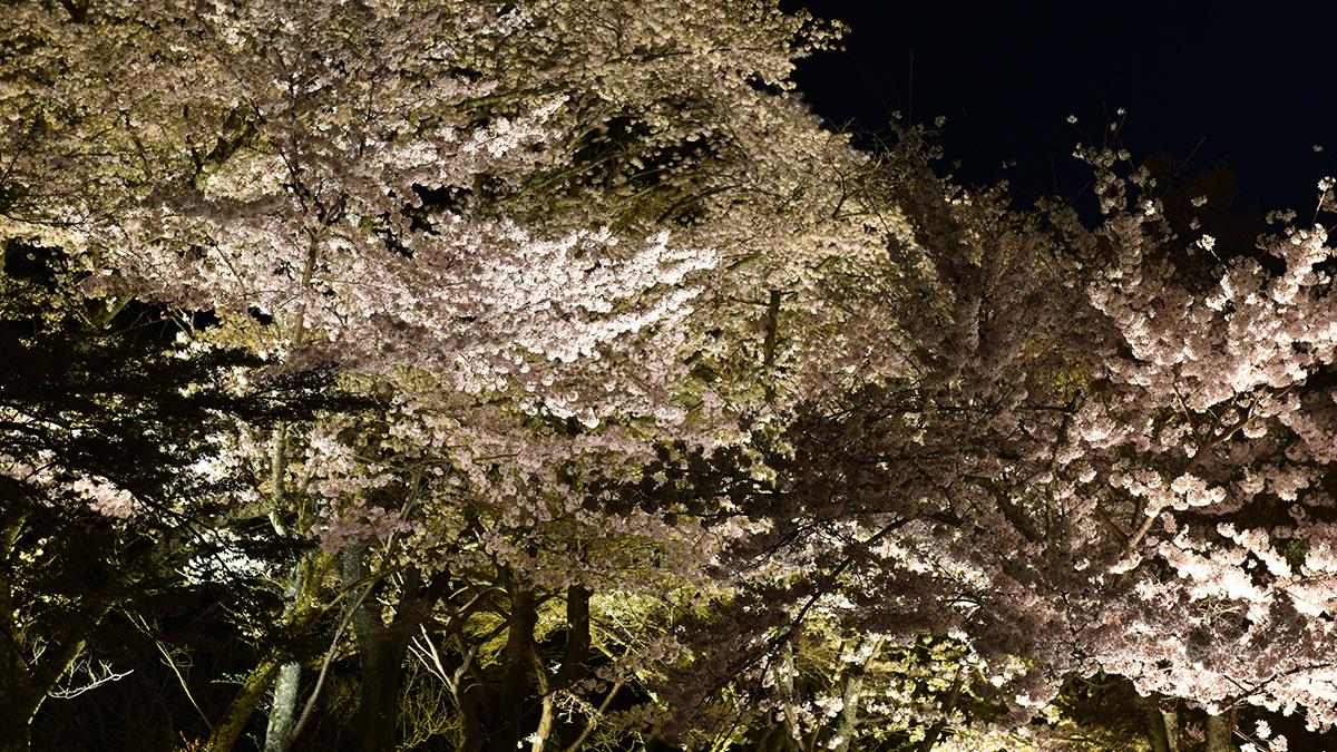 京都夜桜_2