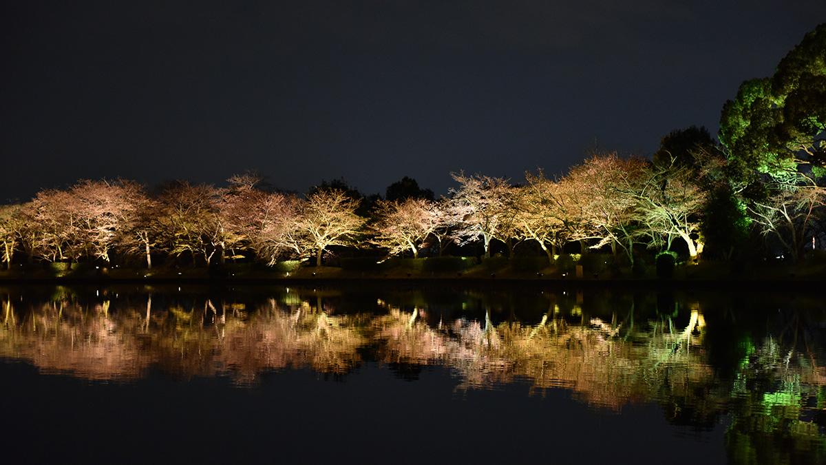 京都夜桜_3